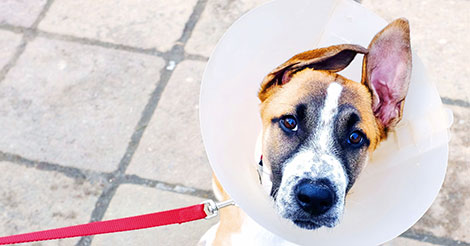 mixed breed dog in cone on leash