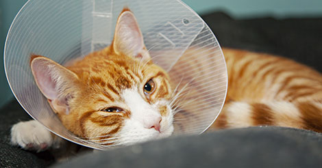 orange cat in cone after spay surgery