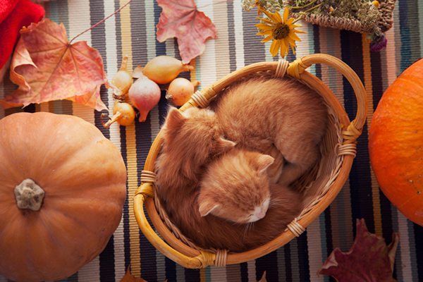 Orange-tabby-cats-with-Thanksgiving-fall-decor