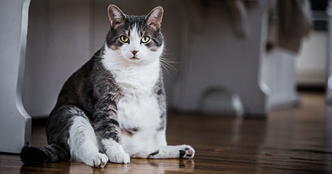 Overweight cat sitting on wood floor
