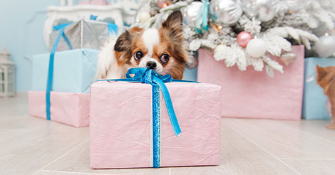 papillion with holiday present