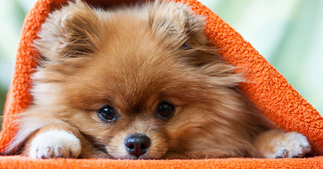 pomeranian under an orange blanket