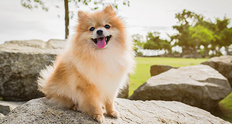 Pomeranian sitting on rocks