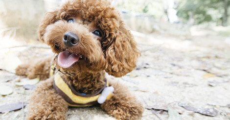 6 Fun Facts You Probably Didn't Know About Poodles