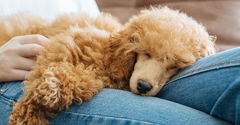 poodle sleeping on lap