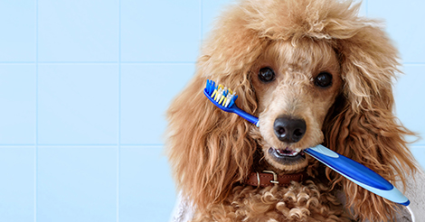 poodle with a tooth brush