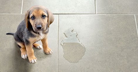 puppy sitting next to a wet spot on tile floor