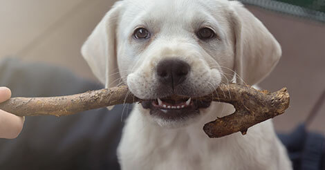 Puppy Teething