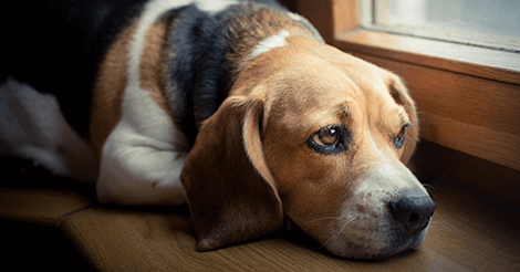 Sad Beagle Looking Out the Window