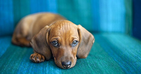 sad dachshund on blue couch