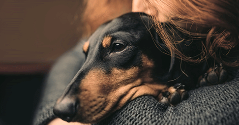 sad looking dachshund