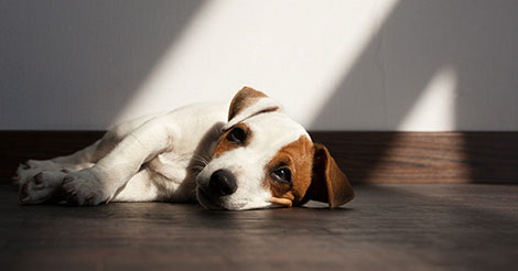 sad dog on wood floor