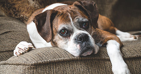 senior boxer dog on couch