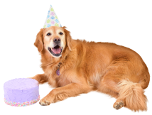 senior golden retriever with birthday cake
