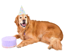 senior-retriever-with-cake