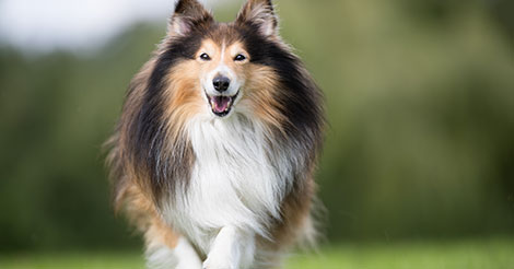 Shetland Sheep Dog Running in Field