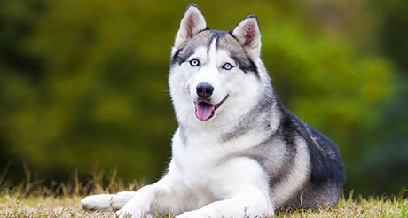 Siberian Husky Health Insurance Embrace