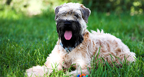 Soft Coated Wheaten Terrier Health