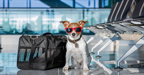 terrier at the airport