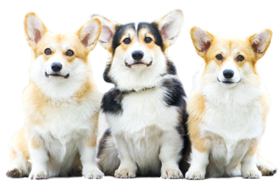 Three corgis in a line
