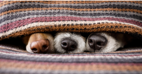three dog noses peaking out from under blanket