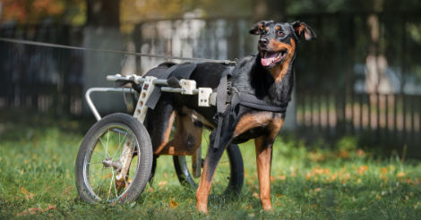 tricolored dog in wheelchair