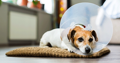 Canine Lumps and Bumps: Superficial Tumors on Dogs