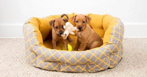 two puppies playing in dog bed