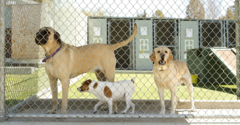 Three Dogs Behind Chain Link Fence