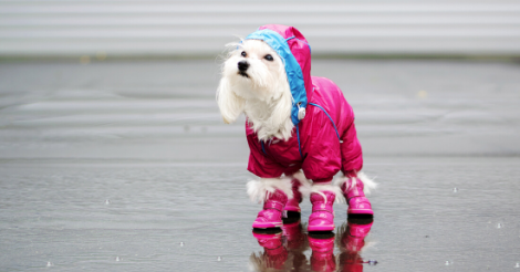 White Dog in Pink Coat and Boots