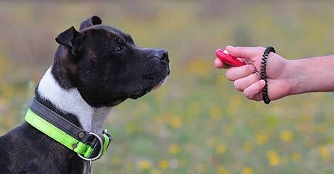 using a clicker to train a pit bull