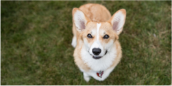 Corgi smiling up at camera
