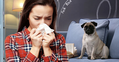 woman sneezing because she is allergic to pug