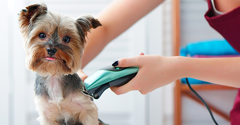 dog being shaved by groomer