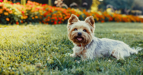 8 Fun Facts You Probably Didnt Know About Yorkshire Terriers