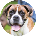 Boxer dog with tongue sticking out